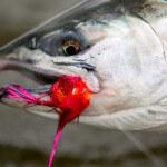 Angler's Alibi Alaska fishing lodge image20