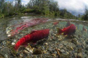 Bristol Bay Alaska salmon fishing trips