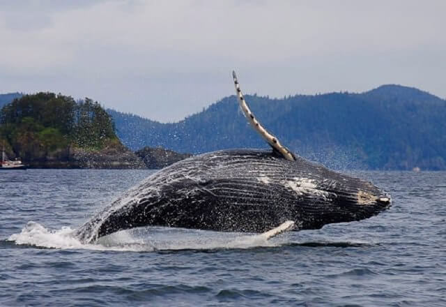 A whale seen from a boat for a fishing lodge in Haida Gwaii