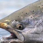 Nushagak King Salmon Safari Alaska fishing lodge image5
